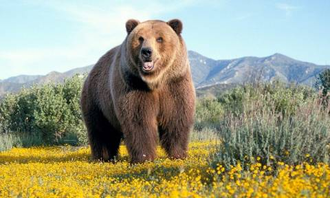 Αυξήθηκε κατά  50% ο πληθυσμός τη καφέ αρκούδας